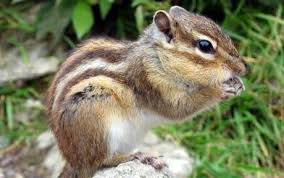 paris battles invasion siberian chipmunk telegraph