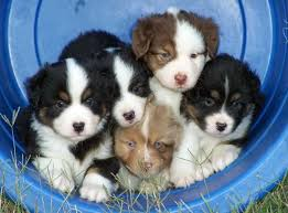 australian shepherd akc best 25 australian shepherd for sale ideas on pinterest mini