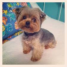 yorkie hair cut chart yorkie poo puppy looking for a good home dog breeds picture