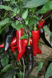69 best chillies images on pinterest vegetables bell pepper and
