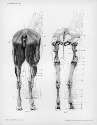 110 best the horse anatomy u0026 tutorials images on pinterest