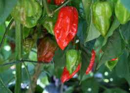 get fired up about ornamental peppers mississippi state