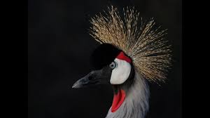 grey crowned cranes need our help youtube