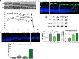 mouse tmem135 mutation reveals a mechanism involving mitochondrial