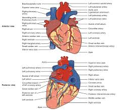 What Is Human Anatomy And Physiology Heart Anatomy Anatomy And Physiology