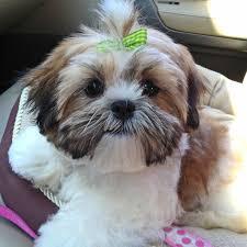 shichon haircuts first beauty visit teddy bear cut furry friends pinterest