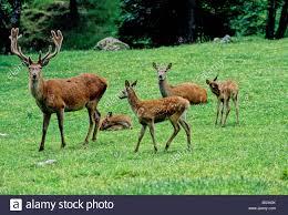 deer cervus elaphus deer stag animals animal family deer