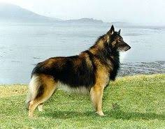 belgian sheepdog club of the rockies czechoslovakian vlcak rare breed not akc recognized contact