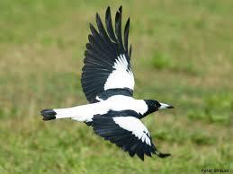 Magpie Birds In Backyards Backyard Birds U2013 Humans Are Nature