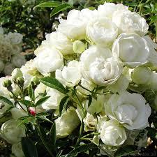 anniversary roses anniversary rose bushes from tree2mydoor uk