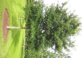louisiana native plants willow oak is fall 2013 louisiana super plant lsu agcenter