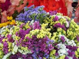 statice flowers statice everlasting flower mix 190 seeds groco ebay