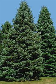 yard and garden caring for evergreen trees during winter iowa