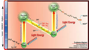 What Happens During The Light Reactions Of Photosynthesis The Z Scheme Diagram Of Photosynthesis