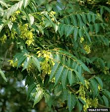 tree of heaven nonnative invasive plants of southern forests a