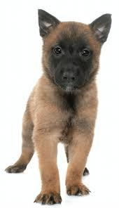 belgian shepherd ears puremalinois u2013 breed betterment project u2026 a holistic approach