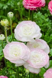 Ranunculus Flower Persian Buttercup Flowers Ranunculus Flower In Garden Stock