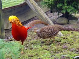 hilltopfarms golden pheasant