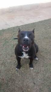 american pitbull terrier 9 meses pitbull 9 meses cachorros santo antônio do pedregal cuiabá olx