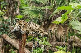 jaguar jaguar adaptations