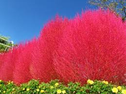 burning bush grass kochia scoparia summer cypress seeds rapid