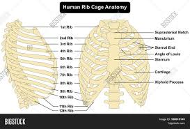 Human Anatomy Anterior Human Body Rib Cage Anatomy Anterior And Right Lateral View All