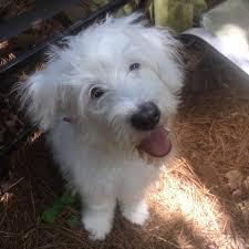 belgian sheepdog georgia atlanta ga old english sheepdog meet allie a dog for adoption