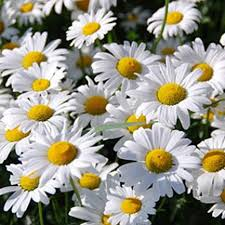 Daisy The Flower - the 25 best shasta daisies ideas on pinterest cottage gardens