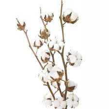 cotton flowers cotton stems wholesale by the bunch