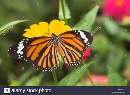 striped tiger with wings spread on yellow flower stock photo