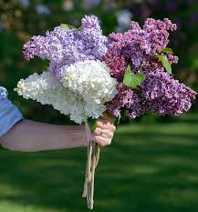 lilac flowers cultivating a of lilacs new hshire home may june 2016