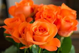 orange roses types of roses pictures presenting a variety of colors