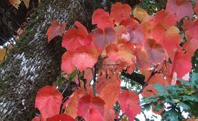 plant profile crimson glory vine the west australian