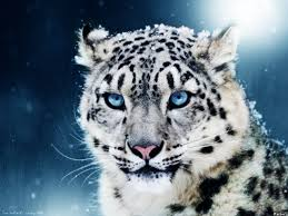 pics of white tigers with blue texture white