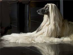 afghan hound job afghan hounds a gallery on flickr
