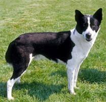belgian sheepdog on petfinder adopt a canaan dog dog breeds petfinder