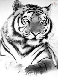 white tiger home decor drawn tiger harimau pencil and in color drawn tiger harimau