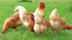 best backyard chicken backyard chicken breeds ideal design ideas bantam backyard