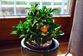common house plants 14 common indoor plants indoor plants expert