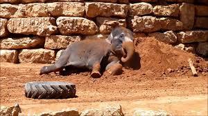 tisch family zoological gardens asiatische elefanten in jerusalem youtube
