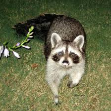 hangin u0027 with raccoons house of sylvestermouse