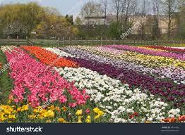 tulip field stock photo 2417425 shutterstock