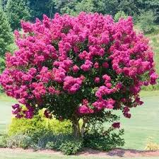 best 25 flowering trees ideas on landscaping