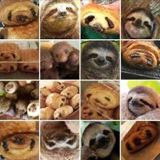 Chocolate Meme - karen zack s twitter collage of sloths and chocolate pastries sweeps