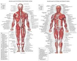 human anatomy word search image collections learn human anatomy