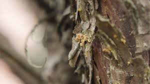Common Plant Diseases - seiridium canker common plant diseases in the landscape and