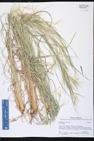 Canopy Synonyms by Andropogon Virginicus Species Page Isb Atlas Of Florida Plants