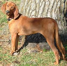 training a bluetick coonhound to hunt redbone coonhound wikipedia