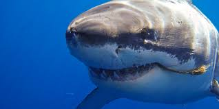 the day i came face to face with a great white shark huffpost
