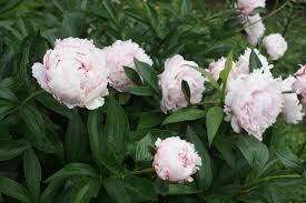 Highly Fragrant Plants Fafardfantastic Fragrant Garden Flowers Fafard